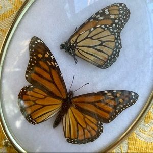 Other - Vintage preserved monarch butterfly display